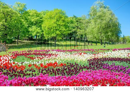 Field Of Tulips In The Park