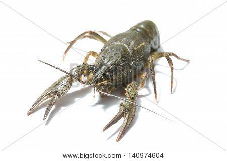 alive crayfish close up isolated on white background