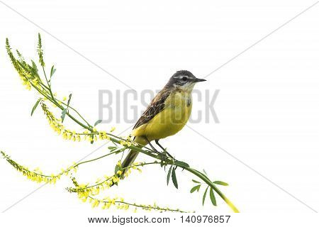 yellow bird Wagtail sitting on a branch yellow clover on a white isolated background