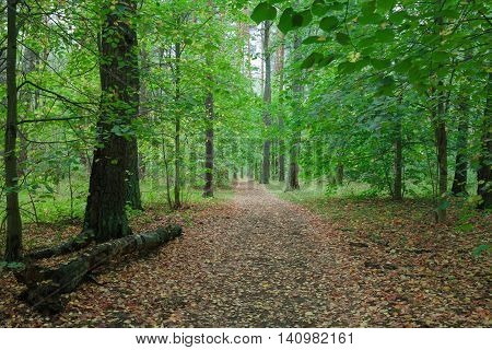 Country road in wild forest covert. Nature trees in forest.