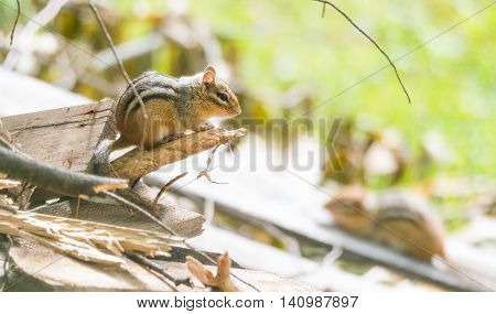 Chipmunks (tamias) sit atop of wood pile in sunlight.  Small squirrel pauses to survey his summer surroundings.  Keeps an eye on another chipmunk nearby.
