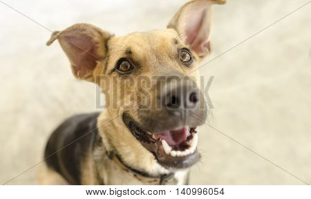 Happy dog isolated is a cute funny enthusiastic German Shepherd with a great big happy smile on his face.