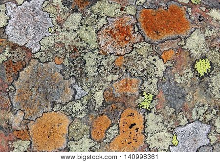 Colourful lichens on a rock in the Lake District, England