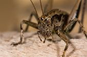 Dark bush cricket (Pholidoptera griseoaptera) close up. Bush-cricket in the family Tettigoniidae showing head compound eyes and palps poster