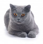 Cat (blue british) isolated on white background poster