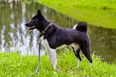 Russian - European Laika is a hunting dog for hunting wild fowl and animals. Husky dog standing on meadow. Exhibition Stand dogs. Beautiful dog on a walk. poster