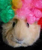 guinea pig wearing colorful clown wig poster
