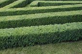 Green labyrinth of trimmed boxwood bushes in the park poster