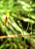 A Clouded Yellow butterfly. taken at Kenfig Pool nature reserve South Wales poster