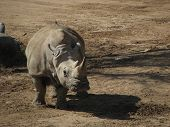 another rhino in the same vicinity grazing in the dirt poster