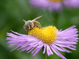 Biene auf Erigeron