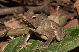 Ein Frosch aus Ecuador