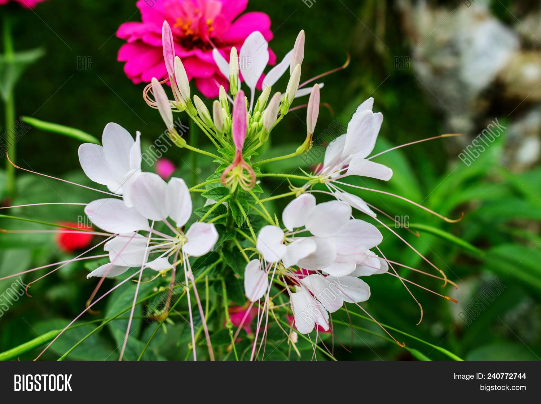 White Cleome Flower Image Photo Free Trial Bigstock