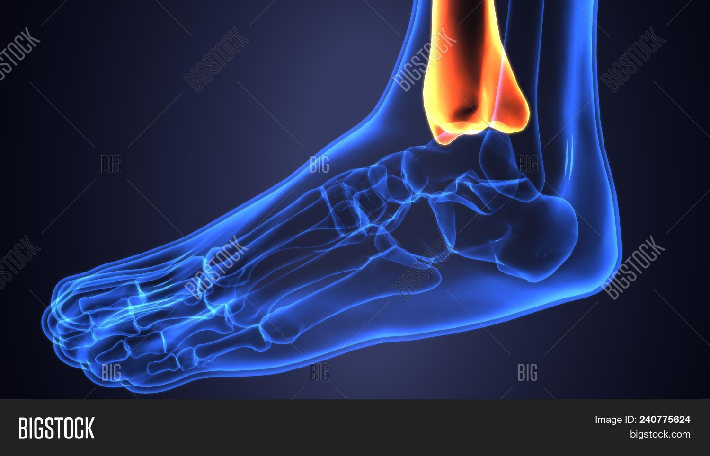 Fibula Bone Anatomy | Image & Photo (Free Trial) | Bigstock