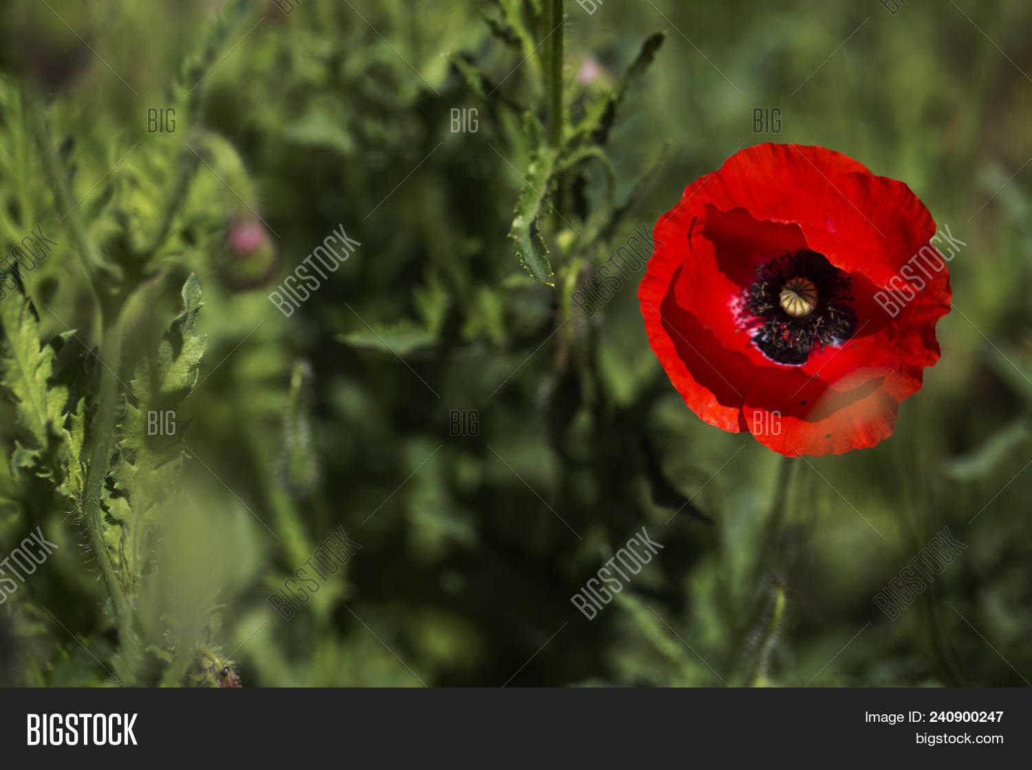 Red Poppy On Green Image & Photo (Free Trial) | Bigstock