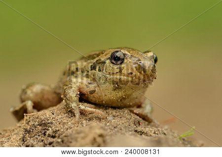 Frog Common Spadefoot - Pelobates Fuscus