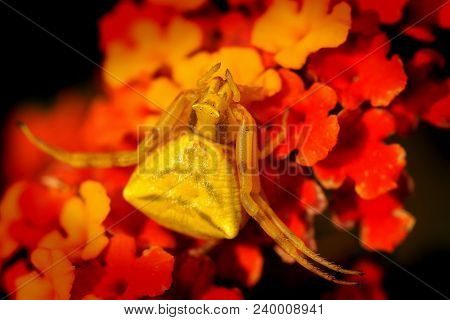 Spider (thomisus Onustus) On The Flower, Very Good Mimicry, Great Camouflage