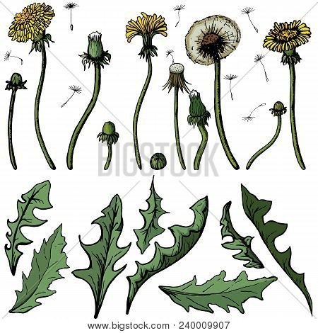 Vector Illustration Dandelions With Leaves Flower Meadow. Summer Flower Natural Season Beautiful Yel