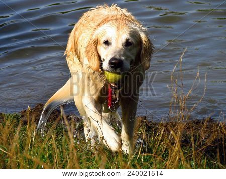 Golden Retriever Takes The Green Tenis Ball Out Of The Pond, Dog Playing By The Water