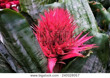 A Beatuiful Pink Blossom Of The Bromeliaceae Family