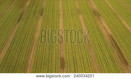 Aerial View Rows Of Green Salad Grown In Agricultural Field. Lettuce Field. Salad On The Field, Sala