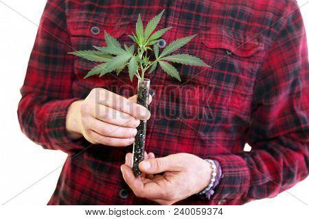 Marijuana Plant in hands. A farmer holds a Clone or Cutting of a marijuana plant in his hands.