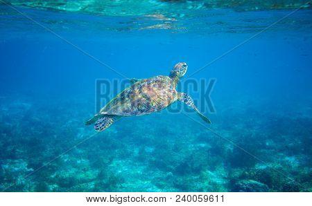 Sea Turtle In Turquoise Blue Water. Green Sea Turtle Closeup. Wildlife Of Tropical Coral Reef. Torto