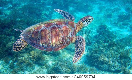 Sea Turtle In Tropical Lagoon. Green Sea Turtle Closeup. Wildlife Of Tropical Coral Reef. Wild Torto