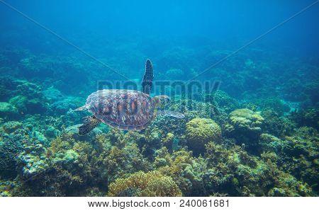 Sea Turtle In Tropical Seawater. Green Sea Turtle Closeup. Wildlife Of Tropical Coral Reef. Wild Tor