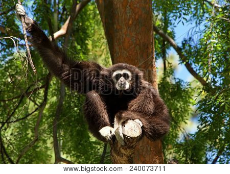 White Handed Gibbon Sitting In A Tree. It Is An Endangered Primate In The Gibbon Family, Hylobatidae