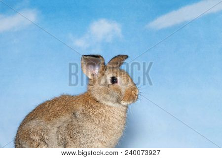 Brown Bunny With Blue Cloudy Sky Background. A Domestic Rabbit, More Commonly Known As A Pet Rabbit,