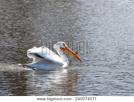 American White Pelican Swimming In A Pond. During The Breeding Season, Both Males And Females Develo