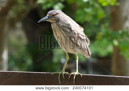 Portrait Of A Juvenile Black Crowned Night Heron Perched On A Metal Fence. The Young Birds Have Oran
