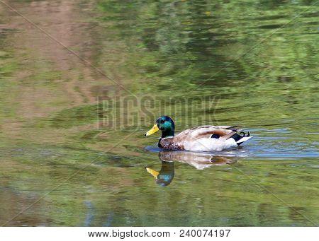 Male Mallard Duck Swimming In A Green Reflective Pond. Unlike Many Waterfowl, Mallards Are Considere