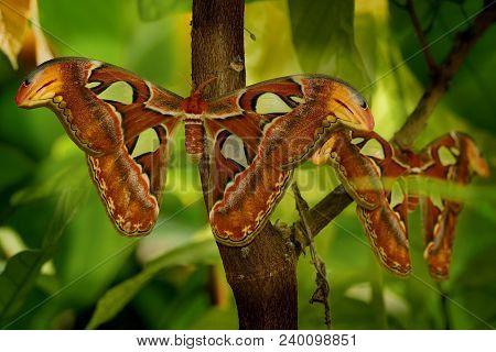 The Atlas Moth (attacus Atlas) Sitting On The Branch With Leaves Around Them. Beautiful Butterfly Wi