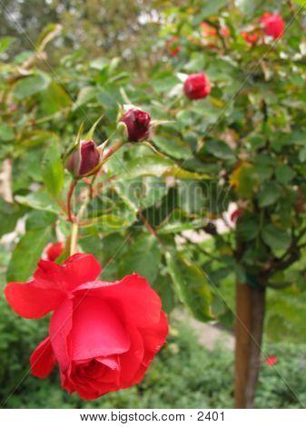 Four Budz N Rose