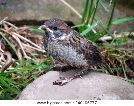 Young Sparrow Sitting On Stone, Bird Close-up On Blurry Background, Cute Little Bird Passer Domestic