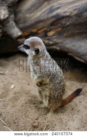 A Full Body Of A Wild African Meerkat. Photography Of Wildlife.