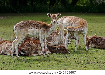 Female Fallow Deers (dama, Dama) On The Meadow. Phtography Of Wildlife.