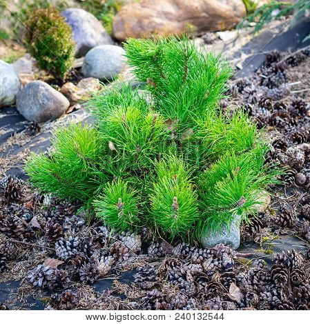 Small Dwarf Pine, A Family Of Conifers, On A Background Of Pine Cones