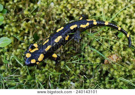 Fire Salamander (salamandra Salamandra) In A Nature