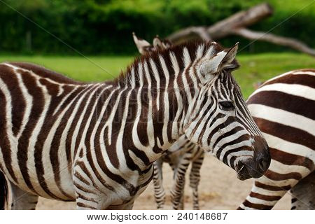 Full Body Of African Striped Coats Zebra. Photography Of Wildlife.