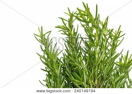 Fresh Thyme Herb. Fresh Organic Flavoring Thyme Plants Growing. Nature Healthy Flavoring Thyme Cooki