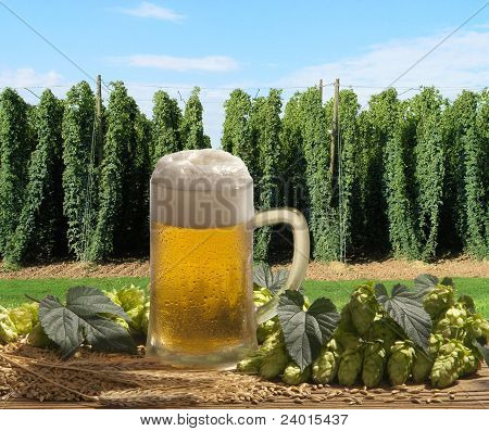 beer glass with hop cones and barley in hop garden, raw material for beer production poster