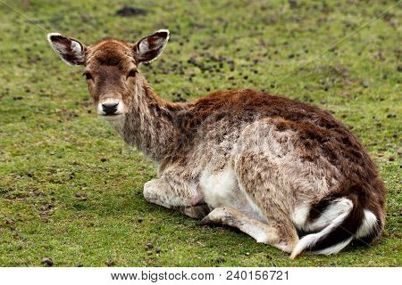 Full Body Of Fallow Deer (dama Dama) On The Meadow. Phtography Of Wildlife.