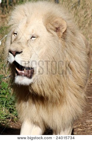 Lion Glory