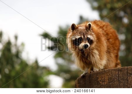 Full Body Of Lotor Common Raccoon On The Tree Trunk. Photography Of Wildlife.