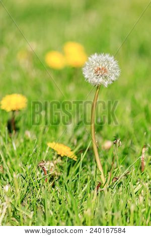Close Up Of A Single Dandilion Puff Ready To Seed With Yellow Bloomsin Grass