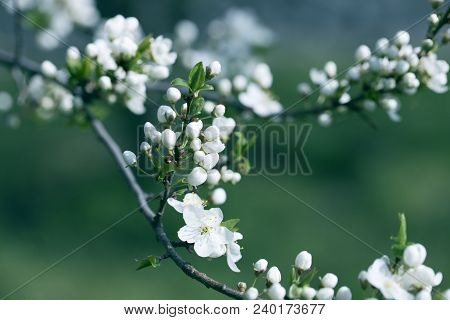 Flowers On The Branches Of A Tree Cherry Spring. Blossoming Branch Close-up. Spring Garden Of Flower
