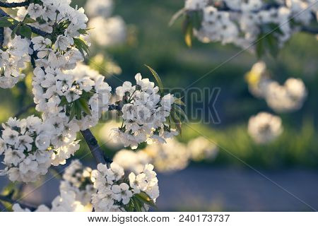 Flowers On The Branches Of A Tree Cherry Spring. Blossoming Branch Close-up. Spring Blossom.